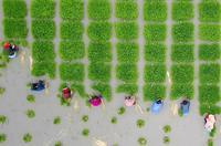 6月5日,芒种,农民们在进行插秧作业。